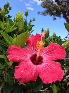Hiiscus Hawaii