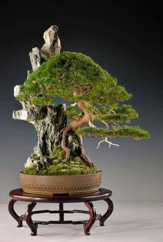 Shimpaku