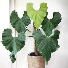 Ferns Garden, Plant Species, Plant Design, Tropical Plants, Growing Plants, Indoor Plants, House Plants, Plant Leaves, Amazing