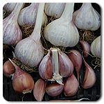 Organic Chesnok Red Garlic