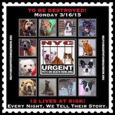 TO BE DESTROYED: 12 beautiful dogs to be euthanized by NYC ACC- MON 3/16/15. This is a VERY HIGH KILL shelter group. YOU may be the only hope for these pups! ****PLEASE SHARE EVERYWHERE!To rescue a Death Row Dog, Please read this: http://urgentpetsondeathrow.org/must-read/ To view the full album, please click here: https://www.facebook.com/media/set/?set=a.611290788883804.1073741851.152876678058553&type=3