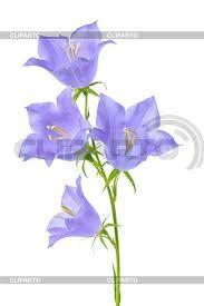 Картинки по запросу колокольчик цветок на лугу