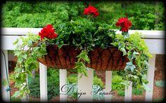 Geraniums, creeping jenny and ivy