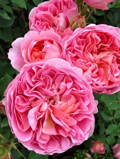 'Boscobel' rose | by Susan R~