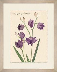 Calopogon Pulchellus 1 - Floral - Our Product