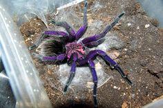 "Pamphobeteus insignis ""Colombian Purple Bloom"""