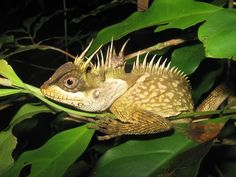 The Phuket horned tree agamid (Acanthosaura phuketensis)
