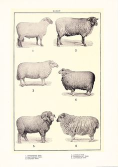 1903 Animal Print - Sheep - Vintage Antique Home Decor Book Plate Art Illustration for Framing 100 Years Old