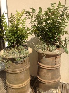 Chimney pot planters with holly fern and cerastium tomentosum