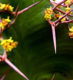 Euphorbia Angularis in winter bloom...