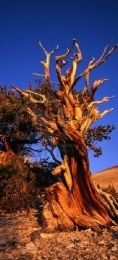 Methuselah (over 4,800 years old) in the Ancient Bristlecone Pine Forest located in the Patriarch Grove section of the Inyo National Forest near Bishop, California • photo: Mike Norton on Shutterstock http://www.shutterstock.com/pic-28629013/stock-photo-bristlecone-pine-trees-located-in-the-patriarch-grove-section-of-the-inyo-national-forest.html?src=PS5DwrRy6S3EBRIUs8iKRA-1-1