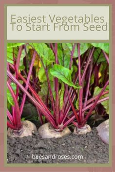 Even beginner gardeners can be great. All they need is a desire and a few tips. Read on to learn more about these yummy vegetables that do well being started from seed. Beet Seeds, Plant Supports, Bottle Garden, Seed Germination, Easy Vegetables To Grow, Seed Germination For Kids, Gardening For Beginners, Planting Pumpkins, Beginners Landscaping