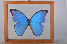 Beautiful Large Male Blue Morpho amathonte Butterfly by VSSoutlet