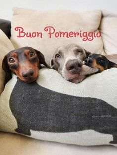 Pin By Ashley Myers On Pet Home In 2020 Dogs Puppies Dachshund Puppies