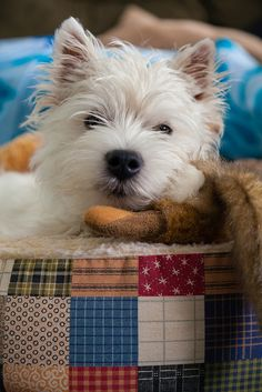 Adorable Westie Toby napping
