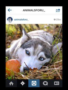 Husky with a pumpkin