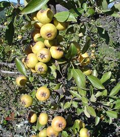 Pyrus, Vegetable Garden, Good To Know, Home And Garden, Leaves, Fruit, Vegetables, Modern Design, Trees