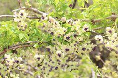 Akebia_quinata_flowers, aggressive climbing vine