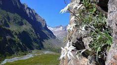 edelweiss -