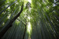 Bamboo Forest, Kyoto, Japan. Brighten your daily feeds by following us! [#AWWonInsta] [@AWWonTwit] [AWWonFace]