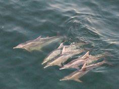 dolphins, copacabana, rio de janeiro