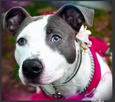 NEW YORK, NY - SKYE is a Pit Bull Terrier for adoption in New York, NY who needs a loving home.