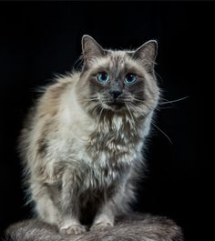 Meet Jetson, the blue-point Balinese.  Look at those gorgeous blue eyes!