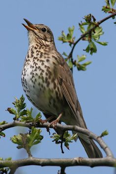 "The Song Thrush is also known as throstle or mavis & has brown upperparts & black-spotted cream or buff underparts. It's distinctive song, which has repeated musical phrases, has frequently been referred to in poetry. It builds a neat mud-lined cup nest in a bush or tree & lays 4 or 5 dark-spotted blue eggs. Omnivorous with the habit of using a favorite stone as an ""anvil"" on which to smash snails. Many old superstitions were associated with Song Thrushes such as they could speak 7…"