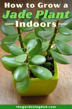 Learn how to grow a Jade Plant, one of the most famous succulents all year long. Tips include how to grow Jade Plants from propagation, in pots, outside, along with tips on caring, harvesting, and even uses! #jadeplant #succulents #gardening