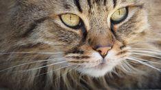 Eliminar o cheiro de urina de gato dos tapetes