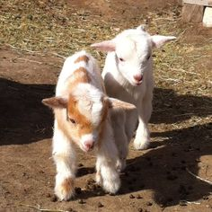 Nigerian Dwarf Dairy Goats Buckling and Doeling together