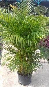 Areca Palm   Florida Nursery Mart