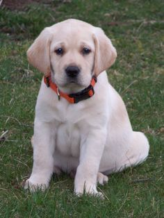 english yellow lab puppies for sale - Google Search