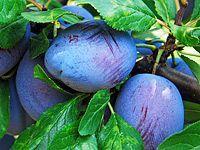 How to prune plums: plums, plums, mirabelles – Nature Beauties Prune Plum, Garden Park, Fruit Plants, Nature Tree, Flora, Home And Garden, Gardening, Outdoor, Garten