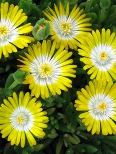 Delosperma cooperi Peridot (Ice Plant)  Dazzling blossoms of sunny yellow with a beaming inner halo of white freely flower from late spring through early fall. This beauty will thrive in a full sun location. Transparent flakes resembling tiny pieces of ice cover the succulent foliage, hence the common name, Ice Plant. Delosperma are evergreen perennials in warmer climates and bring lushness to dry areas. Deer resistant.  Learn more at: https://www.bluestoneperennials.com/DEPE.html
