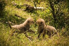 Cheetah cubs in Masai Mara, Kenya