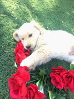 Current Litters | Cielos Golden Retrievers Golden Retriever Collie Mix, Retriever Puppy, Golden Retrievers, Puppies, Dogs, Animals, Animales, Animaux, Retriever Puppies