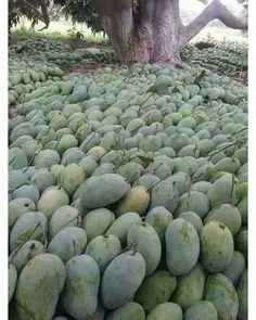 Liveseeds Wild Short Fruit 10 Bitter Melon Fresh Seeds