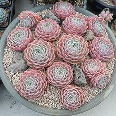 "976 Likes, 13 Comments - K Succulent Nursery (@succulent_nursery) on Instagram: ""#succulent #cactus #plant #Echeveria #sedum #agavoides #nursery #green #succulents #nature #flower…"""