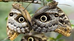 Owl Butterfly (by the ocelli of their wings) At twenty species of the genus Caligo are commonly known as the owl butterflies. They are named for the large eyespots that appear on the back and wings that resemble eyes. Animal Pictures, Funny Pictures, Flying Flowers, Owl Eyes, A Bug's Life, Morning Pictures, Weird Facts, Random Facts, Fun Facts