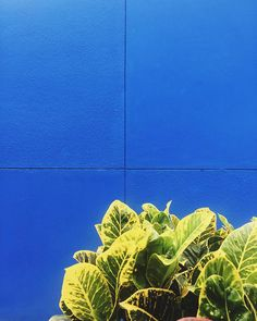 If you've been to Mexico City especially to Coyoacán what does this blue remind you of? For as long as I can remember I've been drawn to Frida Kahlo's art. Her house in Mexico la casa azul is exactly this shade of blue. Her paintings her city. by @dialaskitchen on Instagram