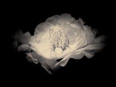 Les fleurs ne meurent jamais seules - 01   by Stéphane Barbery