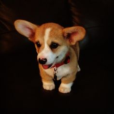 Just a little Corgi