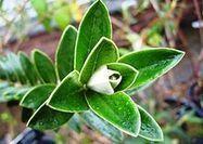 Una hierba poco conocida para cuidar higado y riñon: Quishuara - Plantas medicinales|Hierbas medicinales | Agroindustria Sostenible | Scoop.it