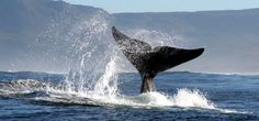 15 things to do in Hermanus on the Cape Whale Coast - Roxanne Reid Rhino Africa, Whale Watching Boat, Stuff To Do, Things To Do, Adventure Activities, Seaside Towns, Cool Countries, African Safari, Beautiful Landscapes