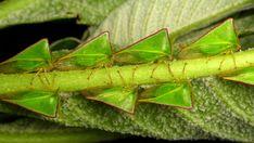 Treehopper, Alchisme grossa, Membracidae
