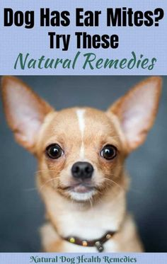 Ear mites are highly contagious and cause intense itching to dogs. This page looks at the symptoms, treatment, and home remedies to treat dog ear mites. Dog Training School, Dog Training Classes, Slider Buns, Black Eyed Peas, Dog Ear Mites Treatment, Dog Flea Remedies, Itching Remedies, Mites On Dogs, Crockpot