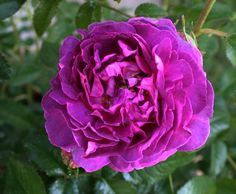 Belle de Crecy (Hybrid Gallica). Introduced before 1829. This rose is pink when it first opens, but finishes with marvelous mauve hues that will knock your socks off! Shrubby plant grows to about 4 feet. Photo from Tuscan Rose: http://ramblingrose.typepad.com/journal/2011/04/belle-de-crecy.html