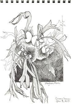 Staghorn fern © 2017 Karen A Johnson Staghorn Fern, Cool Plants, Pencil Drawings, Shrubs, Texas, Sketchbooks, Sketching, Art Ideas, Beautiful