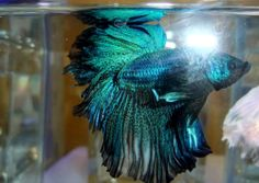 1000 images about aquariums on pinterest betta for Best place to buy betta fish